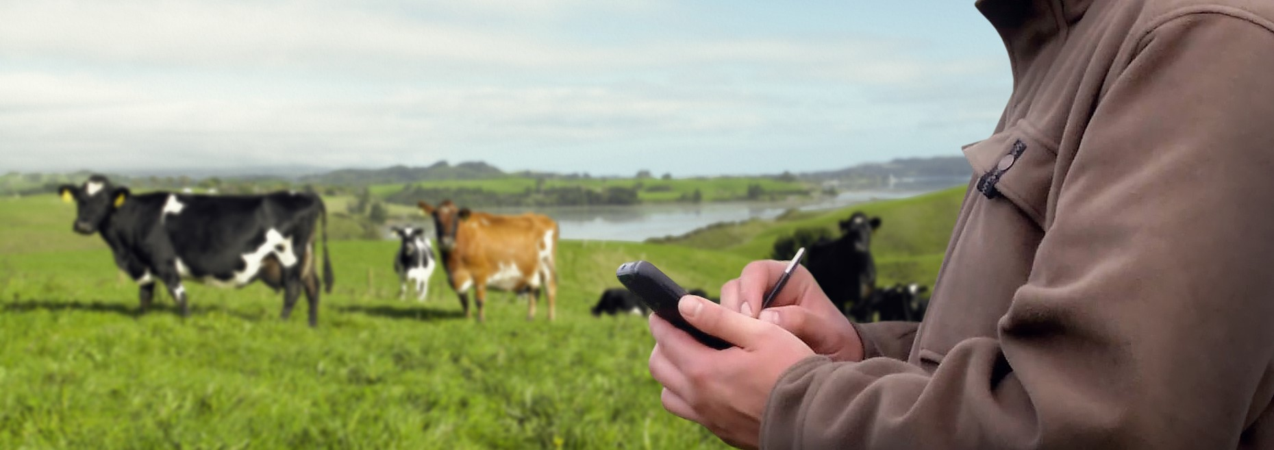 Farmer Using The DairyNZ Website On A Smartphone